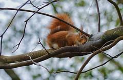 Lecker frischer Saft (KaAuenwasser) Tags: eichhörnchen tier säugetier fell saft leckt lecken baumsaft flüssigkeit süs ast baum februar 2020 zunge tele jahreszeit botanischergarten karlsruhe wild frei garten park