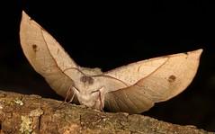 Geometrid Moth (Sarcinodes sp., Oenochrominae, Geometridae) (John Horstman (itchydogimages, SINOBUG)) Tags: insect macro china yunnan itchydogimages sinobug entomology canon moth lepidoptera black geometridae oenochrominae