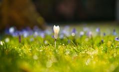 Im Licht stehen (KaAuenwasser) Tags: krokus wiese blumenwiese blüte blüten licht schatten alleine einzeln mittelpunkt mitten mitte rasen farben farbe weis grün zierde pflanze pflanzen botanischergarten karlsruhe februar 2020