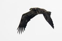 Bald Eagle (Lyle Glen) Tags: 300mm f4 pf vr nikon d7100 nikkor telephoto prime animals wildlife bald eagle helicopter ornge