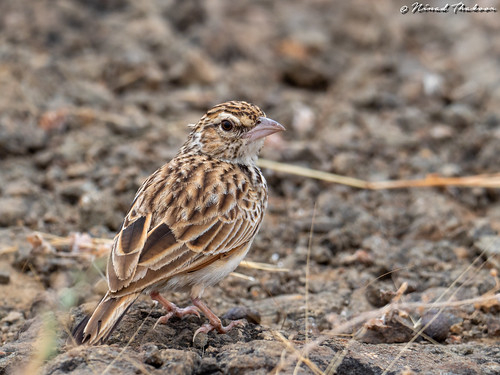 "Indian Bushlark (Lifer) • <a style=""font-size:0.8em;"" href=""http://www.flickr.com/photos/59465790@N04/49554744238/"" target=""_blank"">View on Flickr</a>"