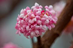 Pink Blossoms - Viburnum × bodnantense Dawn (macromerriment) Tags: pinkblossoms nature flora floral flower flowers garden bloom blossom outdoors outside colour color light pink brown steveston richmond bc britishcolumbia canada sigma180mmf28macroexdgoshsm macro viburnumxbodnantense dawn arrowwood