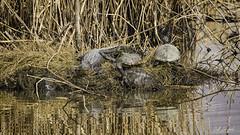 Turtle Mafia (Scott Sanford Photography) Tags: 5dmarkiv canon ef100400mmf4556lisiiusm eos gulfcoast nationalwildliferefuge naturallight nature outdoor texas water wildlife alligator reptile