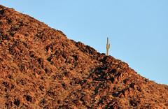Saguaro and Dome Rock Mountains, La Paz County, AZ (4 Corners Photo) Tags: 4cornersphoto arizona cactus carnegieagigantea desert domerockmountains lapazcounty landscape morning mountains nature northamerica outdoor rock rural saguaro scenery sky sonorandesert sunrise unitedstates weather winter poston unitedstatesofamerica