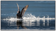 Surf Scoter (RJ Thomas Photography) Tags: d850 500 mm pf surfscoter