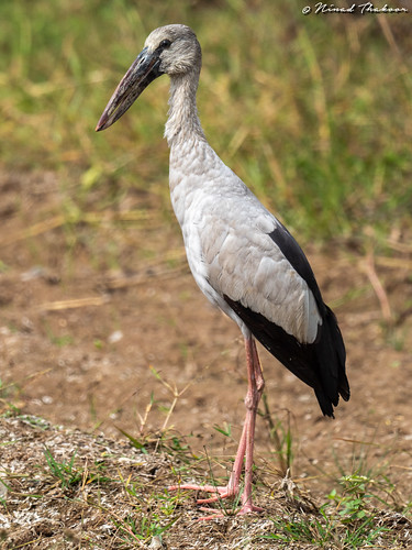 "Asian Openbill • <a style=""font-size:0.8em;"" href=""http://www.flickr.com/photos/59465790@N04/49555241906/"" target=""_blank"">View on Flickr</a>"