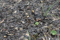 Trashed with ash (OzzRod) Tags: pentax k3 hdpentaxdfa150450mmf4556 beach debris flotsam strandline leaves burnt ash bushfire texture black uncropped barraggabay nswfarsouthcoast