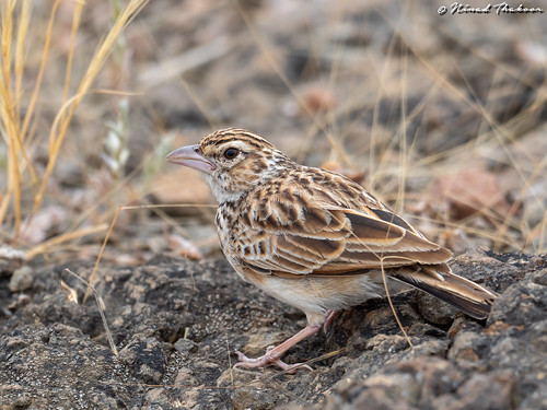 "Indian Bushlark (Lifer) • <a style=""font-size:0.8em;"" href=""http://www.flickr.com/photos/59465790@N04/49555480272/"" target=""_blank"">View on Flickr</a>"