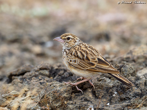 "Indian Bushlark (Lifer) • <a style=""font-size:0.8em;"" href=""http://www.flickr.com/photos/59465790@N04/49555481297/"" target=""_blank"">View on Flickr</a>"