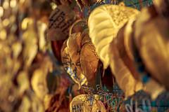 Golden Leaves #007 (axelord101) Tags: stillife pattern leaves travel golden