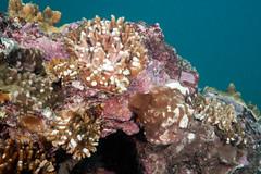 Cyclone damage to coral (Marine Explorer) Tags: scuba nature marine underwater australia marineexplorer