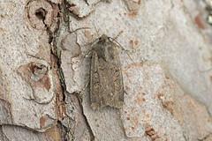 Photo of 73.319 Turnip Moth (Agrotis segetum), Burntisland, Fife