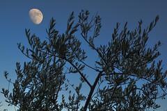 La luna e l'ulivo (giorgiorodano46) Tags: gennaio2020 january 2020 giorgiorodano luna moon dusk imbrunire ulivo olivo roma