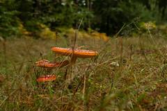 Die Welt der Pilze  (64) (berndtolksdorf1) Tags: deutschland thüringen wald pilze fliegenpilze mushrooms funghi gras outdoor