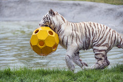 Running with the ball, again (Tambako the Jaguar) Tags: action ball bengal big cat crémines cute d5 female fun grass nikon orange playing pond running sikypark switzerland tiger tigress toy water white wild yellow young zoo