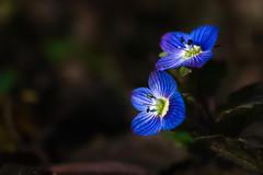 20200215_753c (novofotoo) Tags: blüte commonfieldspeedwell natur nature persischerehrenpreis pflanzen plant veronicapersica botanischergarten botanicalgarden