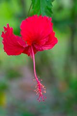 Hibiscus (alain_did) Tags: fleur nature naturallight naturepics naturalworld naturephotograph bokeh greencolor amazonie guyane