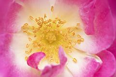 Rosa 'Erfurt' Rose (Jacky Parker Photography) Tags: rosaerfurtrose hybridmuskrose rose rosa flower pink summerflower summergarden summerflowering scented freshness fragility beautyinnature selectivefocus closeup macrophotography flowerphotography stamens pollen nikond750 uk
