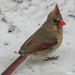 Mrs Cardinal - Madame Cardinal