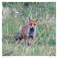 Goupil | Fox (BerColly) Tags: france auvergne puydedôme animal mammal mammifère renard fox portrait bercolly google flickr