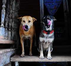 ,, 2 Silly Dogs - Explored ,, (Jon in Thailand) Tags: 2dogs dogtongues rescueddogs puppy puppyrescue pudgypuppy mama mrlittlemickey babybeanbrain pink blue themonkeytemple jungle nikon nikkor d300 175528 pinktongues red sillydogs littledoglaughedstories