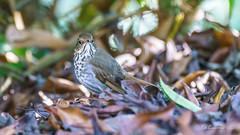 Hermit Thrush (Bob Gunderson) Tags: birds botanicalgardens california catharusguttatus goldengatepark hermitthrush northerncalifornia sanfrancisco thrushes
