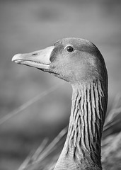 GREYLAG (hedgehoggarden1) Tags: greylaggoose rspb geese birds wildlife nature creature animal sonycybershot bird titchwell norfolk eastanglia uk sony blackwhite