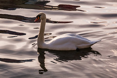 Swans on Lake Windermere (Briantc) Tags: england cumbria lakedistrict windermere swan reflections winter