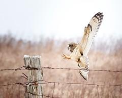 Short-eared Owl (humanaaut) Tags: owl shortearredowl asioflammeus ontario