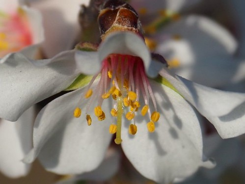 Almond flower, detail
