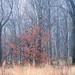 Arbre rouge dans la brume