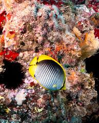 Chaetodon melannotus Black-back butterflyfish (Marine Explorer) Tags: scuba nature marine underwater australia marineexplorer