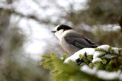 Canada Jay (FlatlandersGo) Tags: canadajay whiskeyjack bwca boundarywaterscanoearea minnesota north birds winterbird nature