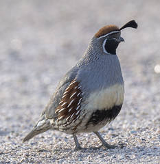 02192020000037724 (Verde River) Tags: rabbit gambelsquail bird birds cactuswren