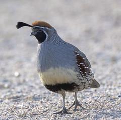 02192020000037723 (Verde River) Tags: rabbit gambelsquail bird birds cactuswren