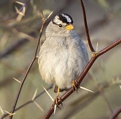 02192020000037650 (Verde River) Tags: rabbit gambelsquail bird birds cactuswren