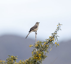 02192020000037629 (Verde River) Tags: rabbit gambelsquail bird birds cactuswren