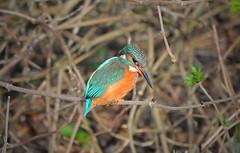 Kingfisher (Alcedo atthis) (Nick Dobbs) Tags: kingfisher alcedo atthis kingfishers bird aquatic grantham female