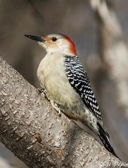 Pic à ventre roux (femelle) / Red-bellied Woodpecker (female) (Lucie.Pepin1) Tags: oiseaux birds pic redbelliedwoodpecker nature wildlife faune fauna héritagestbernard canon7dmarkii canon300mml luciepepin