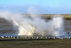 Were not bovvered lol (Paul Biggs) Tags: maryport seagulls cumbria cumbrian coast