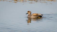 Gadwall (m) (Bob Gunderson) Tags: anasstrepera birds buttecounty california centralvalley dabblingducks ducks gadwall graylodgewildlifearea northerncalifornia