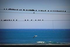 il solitario (fotomie2009) Tags: con meg sea mare liguria italy italia birds uccelli fauna tordi fili gabbiano seagull azzurro blues many molti