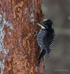 American Three-toed Woodpecker (bbatley) Tags: bird wildlife woodpecker americanthreetoedwoodpecker minnesota saxzimbog