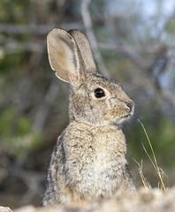 02192020000037727 (Verde River) Tags: rabbit gambelsquail bird birds cactuswren