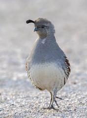 02192020000037714 (Verde River) Tags: rabbit gambelsquail bird birds cactuswren