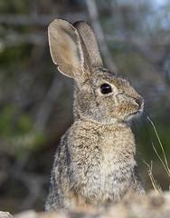 02192020000037732 (Verde River) Tags: rabbit gambelsquail bird birds cactuswren
