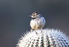 02192020000037677 (Verde River) Tags: rabbit gambelsquail bird birds cactuswren