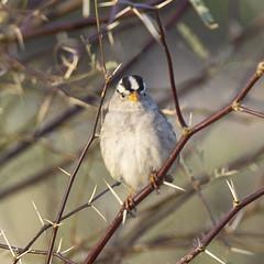 02192020000037646 (Verde River) Tags: rabbit bird gambelsquail birds cactuswren