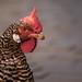 so ein Huhn ...