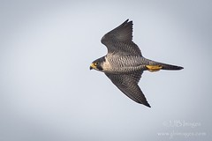 Peregrine flypast (JJB Images) Tags: amazingnature amazing beautiful birds beauty canon countryside country canonef600mmf4islens canoneos1dxmkii detailed detail eos england explore explored ef eyes focus gitzo interesting image is iso inflight jjbimages lumix lovelylight minolta nikon nature natural nice panasonic pretty picturesque rspb tamron usm fuji wiltshire wildlife wwwjjbmagescom xl zoom zoomed